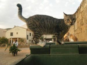 cats in Komiza